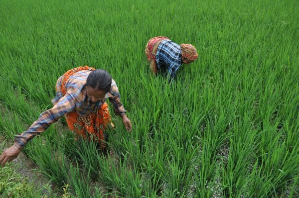Farmers working on the paddy fields on a outskirt village near Agartala. Photo/Abhishek Debbarma.